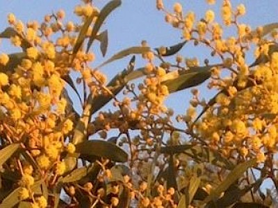 Golden Wattle Visa®